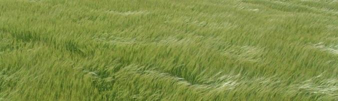 Scotland-Arbrouth-grass-header