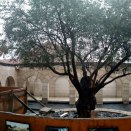 Olive Tree Courtyard